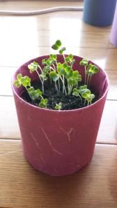 4日目のベビーリーフ室内栽培