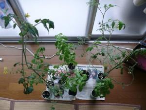 室内で自家栽培