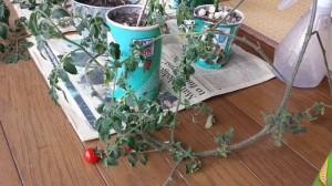 ジャガリコで育つミニトマト