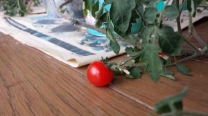 透明感あるミニトマト