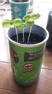 バジルの室内栽培