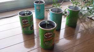 プリングルスプランターでバジル栽培
