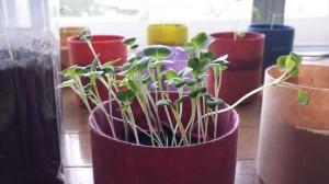 12日目のベビーリーフの室内栽培
