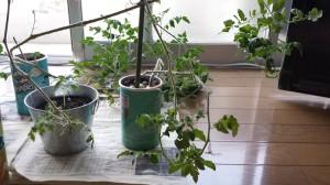 180度転換するミニトマトの成長