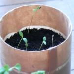 イタリアンパセリを室内で栽培