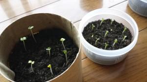 水菜とサンチュの室内栽培