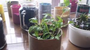 38日後の水菜室内栽培