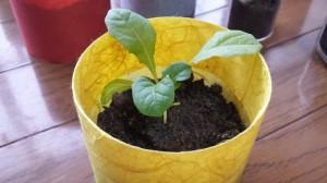サンチュを和紙プランターで栽培