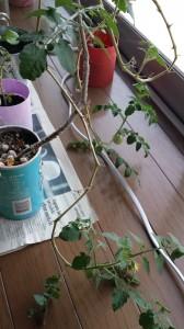 2年越しに実るミニトマト