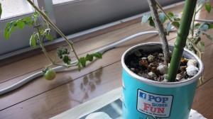 黒土で室内ミニトマトを栽培