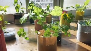 室内でイタリアンパセリの栽培約3ヶ月間