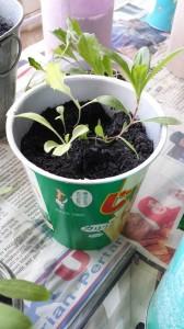 ジャガリコの容器に植える