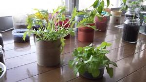 水菜とサンチュ栽培