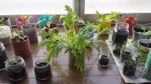 のびのび水菜の室内栽培