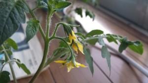 2年越しのミニトマトに開花