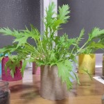 電気明かりと水菜の室内栽培