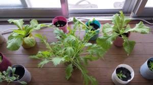 サンチュと水菜を栽培