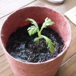 春菊の浸水栽培