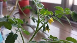 2年越しに咲くミニトマト