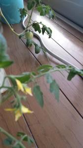 奥になるミニトマト