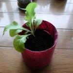 サンチュを移植栽培