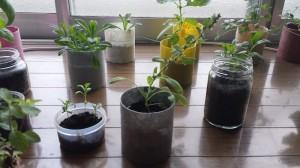 ほうれん草の室内栽培