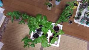 室内窓際栽培での収穫