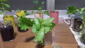放置栽培で育ったレタス