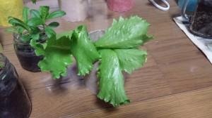 成長するレタス室内栽培