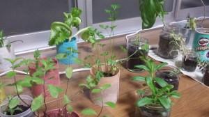 ハーブを室内栽培