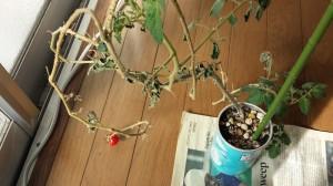 生命力とミニトマト
