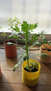 和紙プランターと春菊栽培