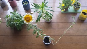 5cmタッパと春菊