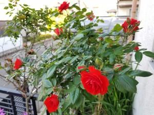 2018バラの花