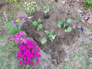 5月の野菜苗