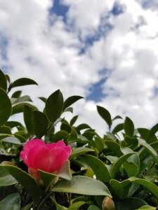 赤色の椿の開花