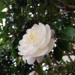 白色の椿開花2018